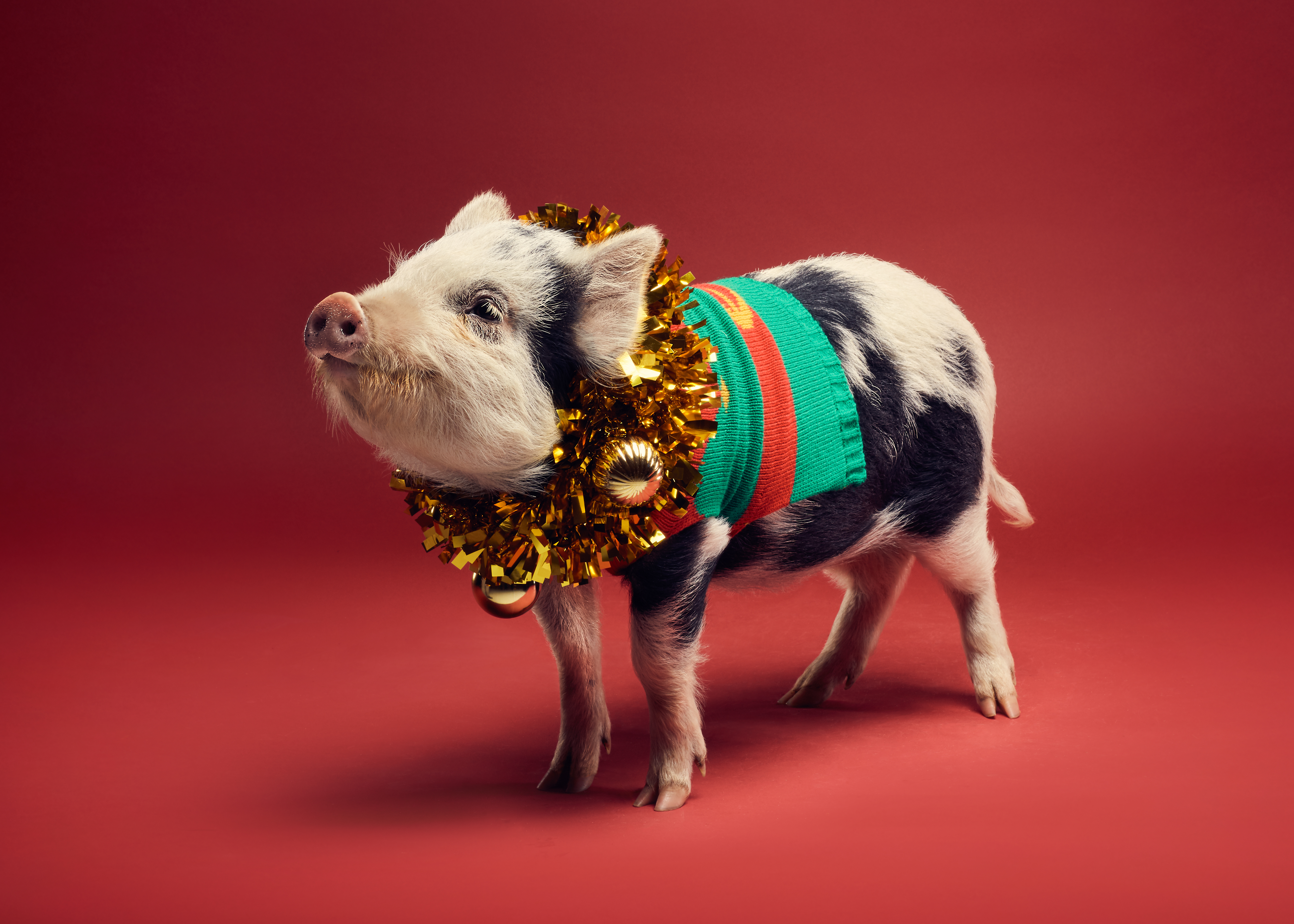 Christmas Pigs.Just Take A Look At These Pigs In Christmas Jumpers The