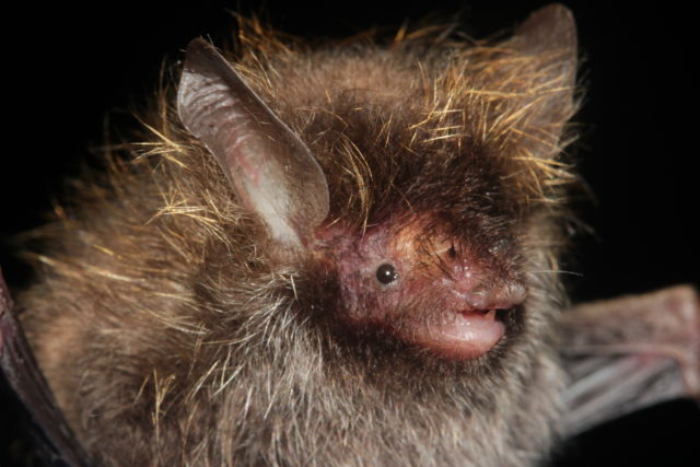 A bat with a 'hairstyle' with frosted tips has been discovered in Burma (Pipat Soisook/WWF/PA)
