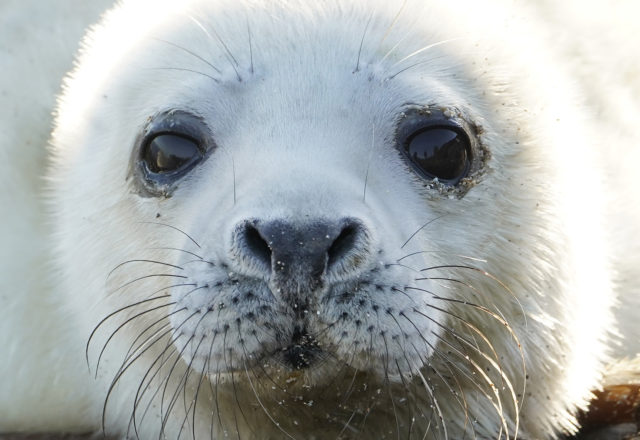 Around half the 300,000 grey seals in the world are found in British and Irish waters (Owen Humphreys/PA)