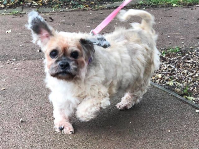 Shih tzu Molly now has a new home (RSPCA/PA)