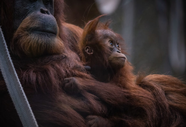 Sumatran orangutans in their new home at Chester Zoo (Chester Zoo/PA)