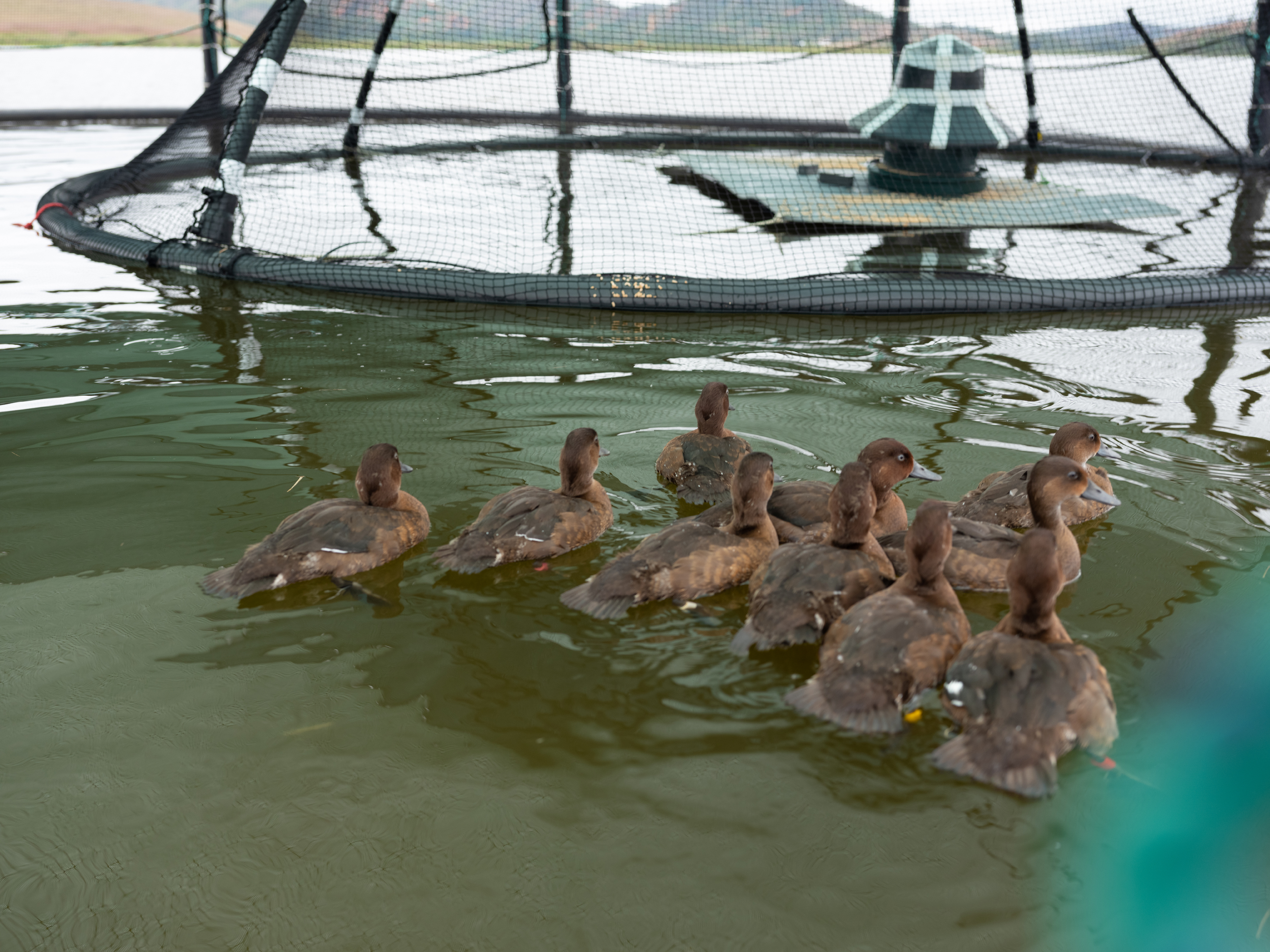 Madagascar pochard ducks in the safety of the world's first floating aviaries on Lake Sofia in the north of the country (WWT/PA).