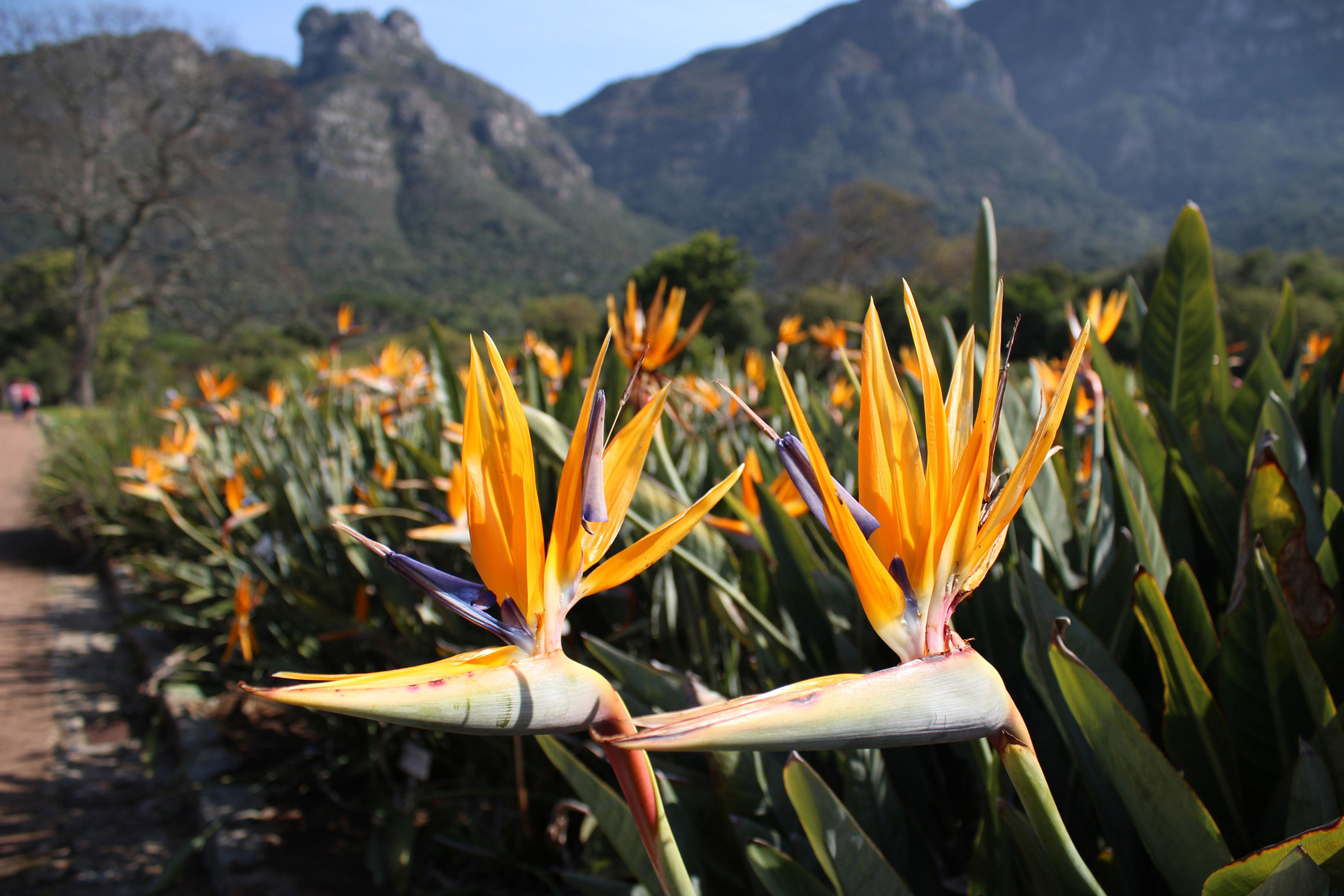 Birds of Paradise flowers in Kirstenbosch (Thinkstock/PA)