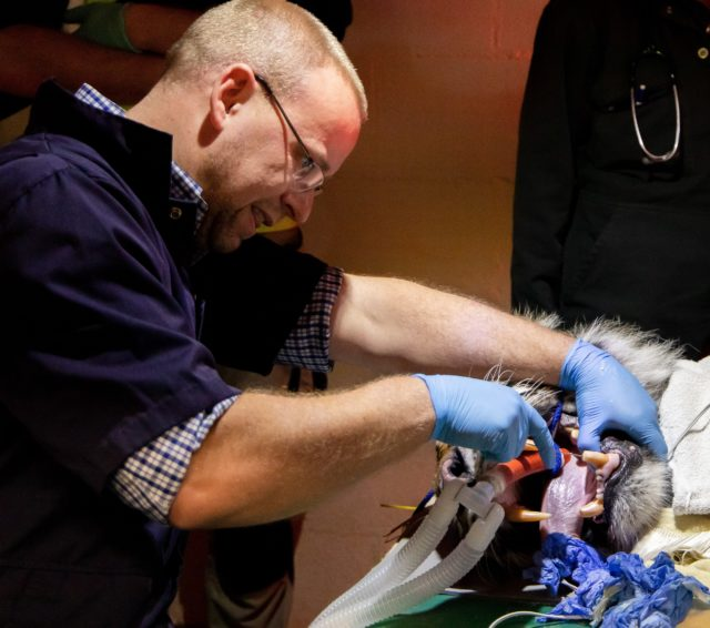 Fabi the tiger undergoes at root canal procedure (Paignton Zoo/PA)
