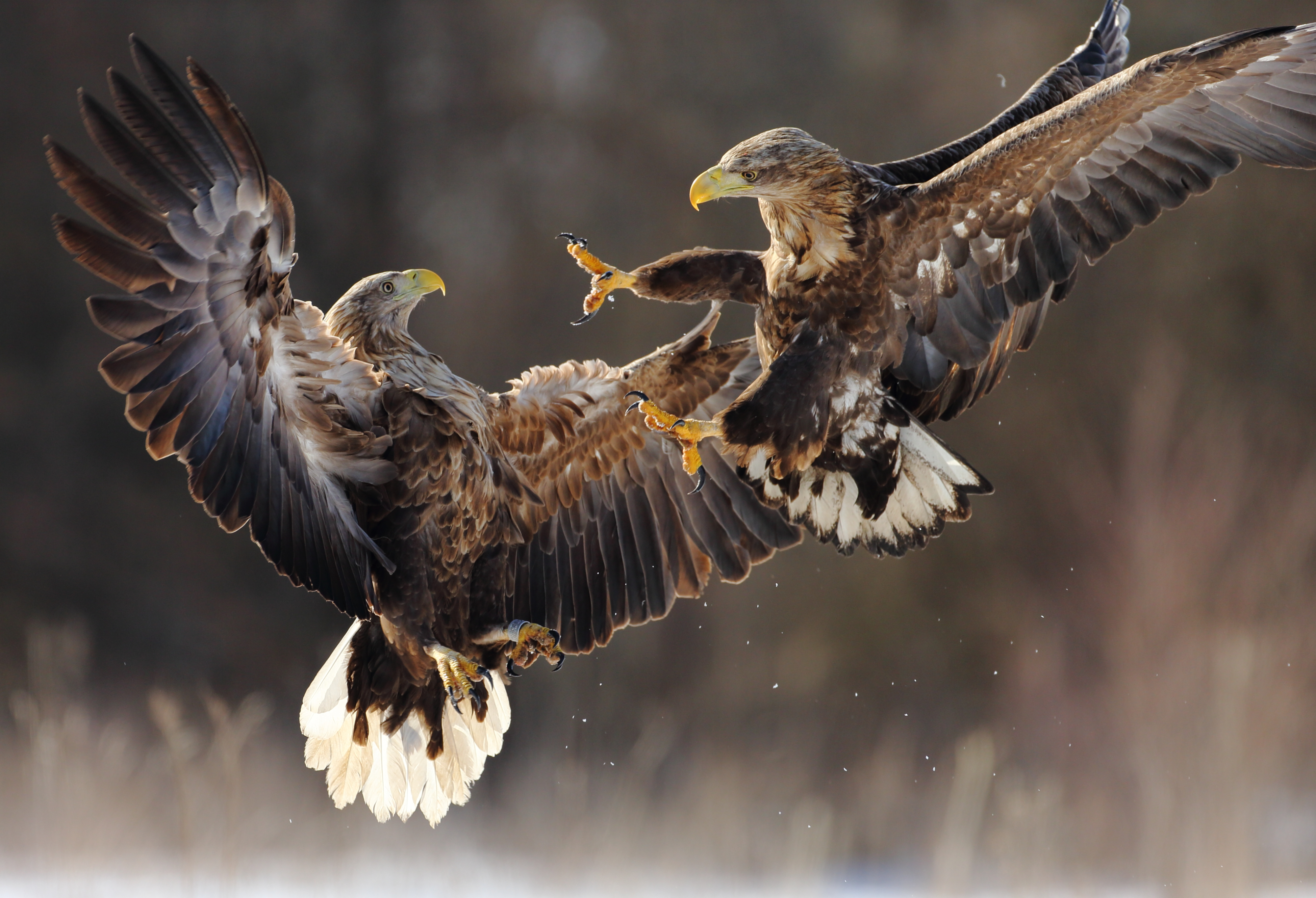 Two white tailed eagles fighting