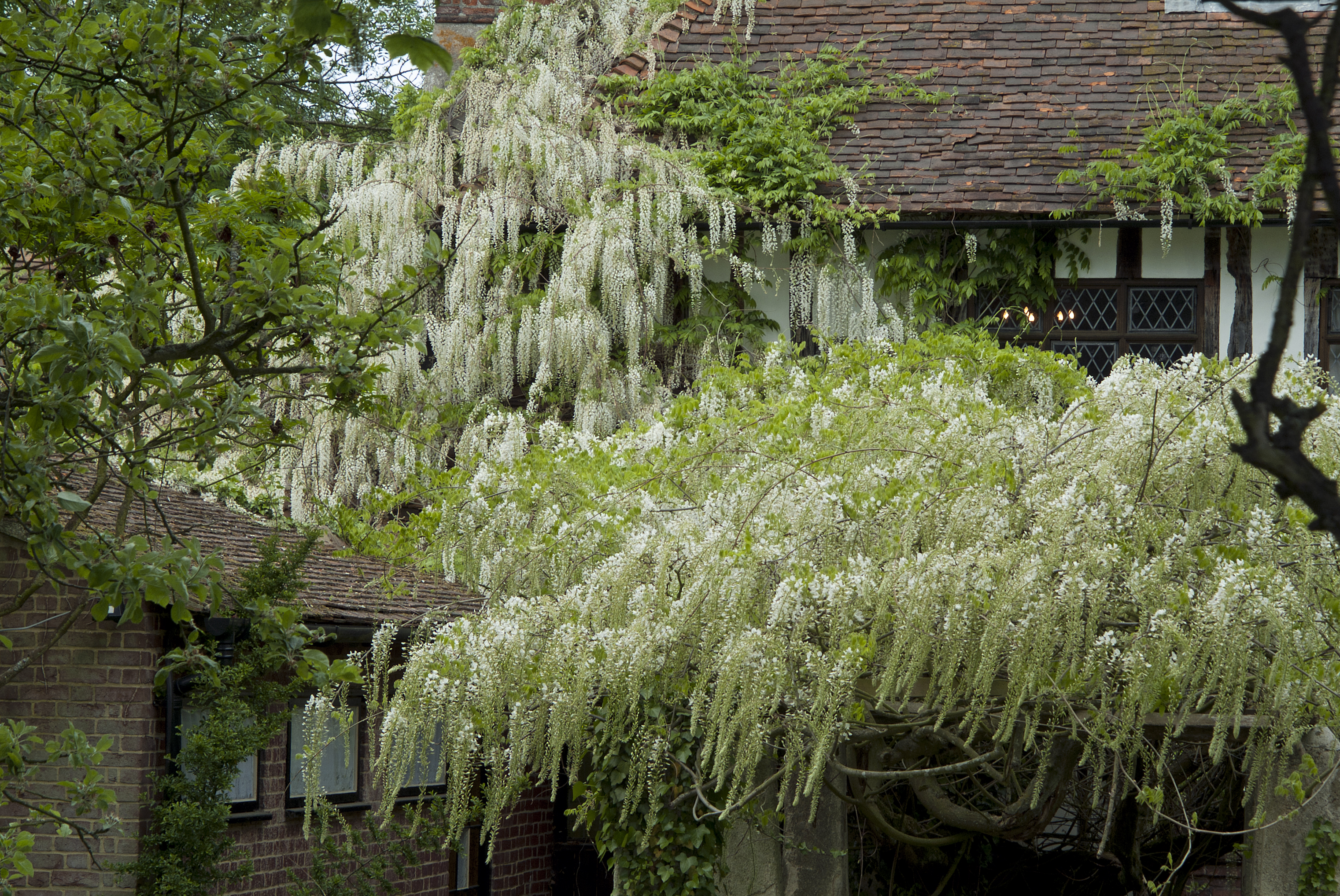 wisteria that's out of control (Tim Sandall/RHS/PA)