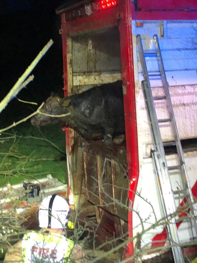 Firefighters in Northern Ireland rescue 39 bulls that were trapped in an overturned lorry
