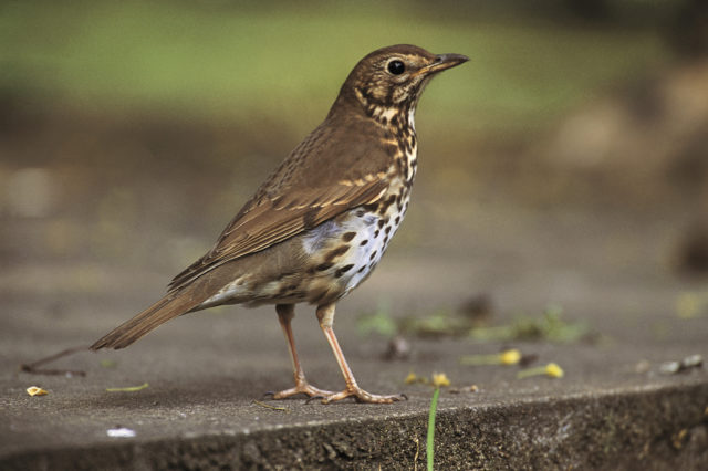 The citizen science survey was the first to flag declines in song thrushes (Chris Gomersall/RSPB Images/PA)