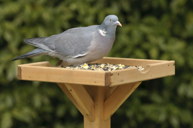 Woodpigeons have seen numbers increase hugely in the Big Garden Birdwatch (Chris Gomersall/RSPB Images/PA)