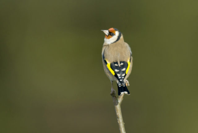 Goldfinches have become a frequent sight in gardens (John Bridges/RSPB Images/PA)