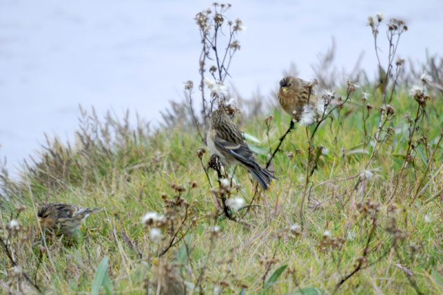 It is hoped the project will create habitat for upland birds such as twite (National Trust/PA)