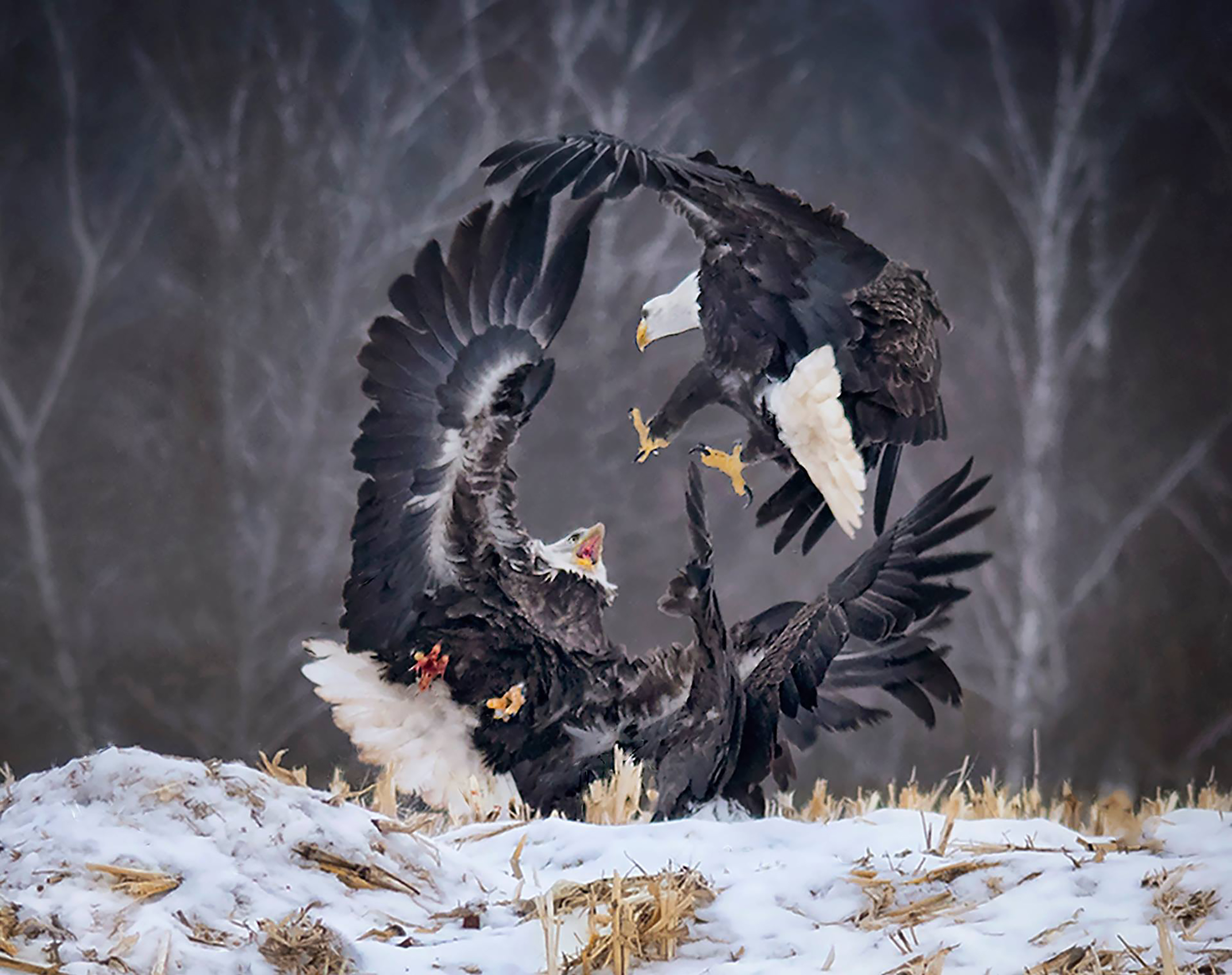 Two eagles fighting