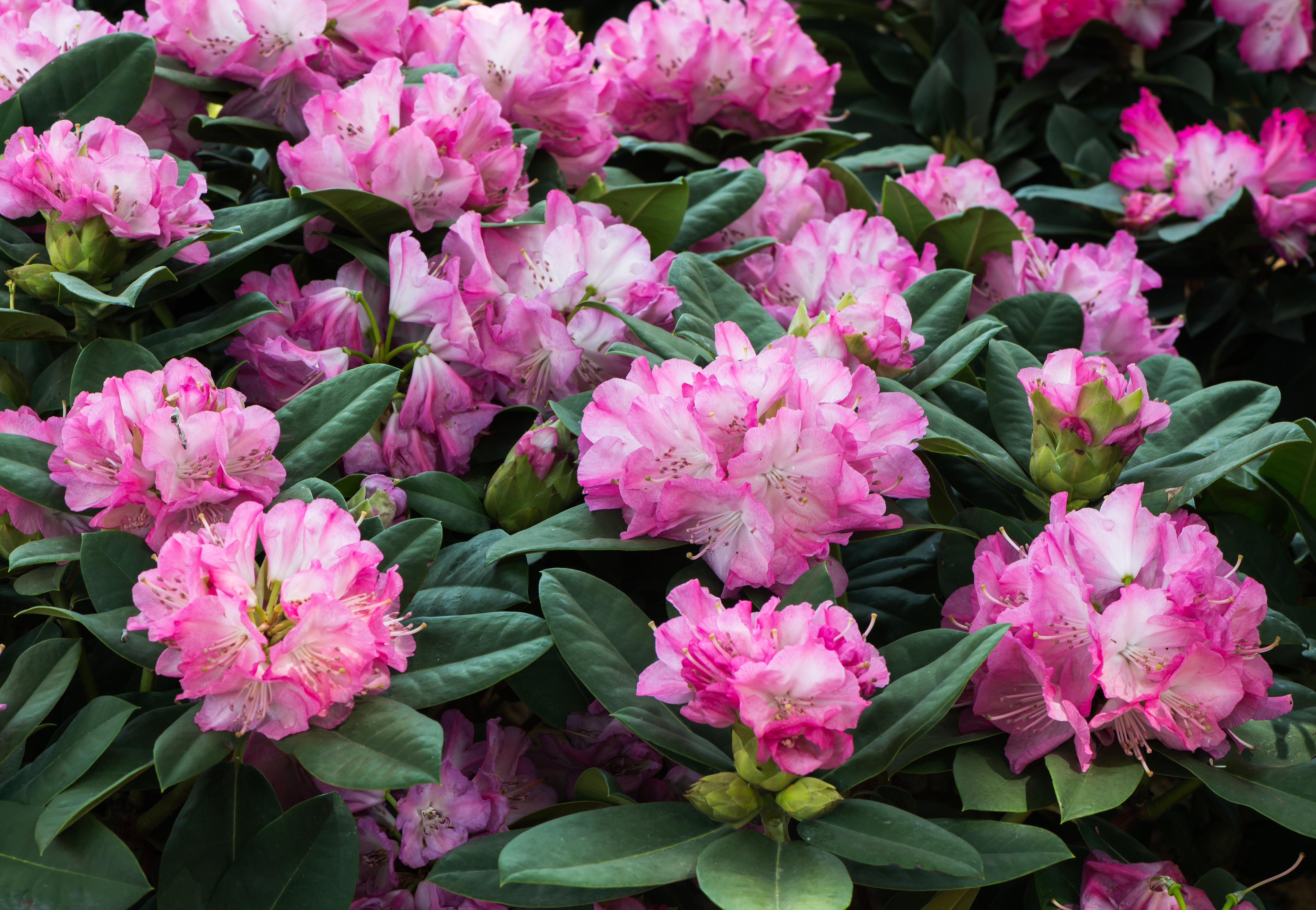 Rhododendron (Thinkstock/PA)