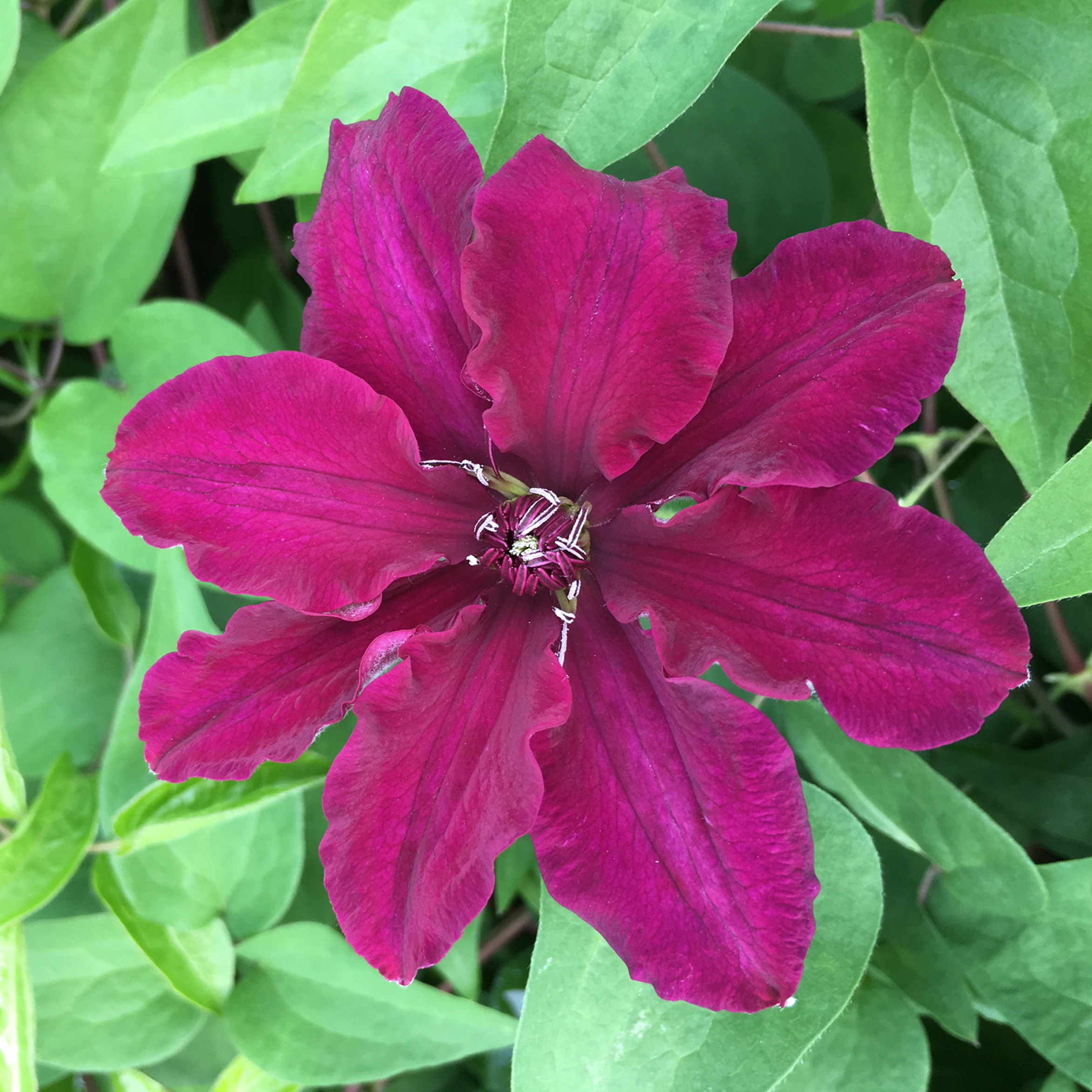 Clematis 'Meghan' (Thorncroft Clematis/PA)