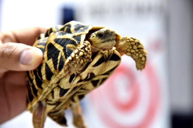 One of the tortoises held up