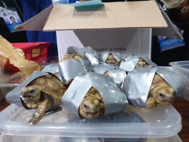 The tortoises taped up