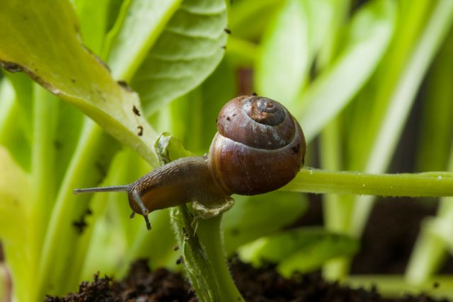 Slugs and snails are a perennial problem for gardeners (RHS/Neil Hepworth/PA)