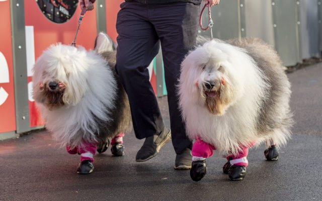 Two old English sheepdogs