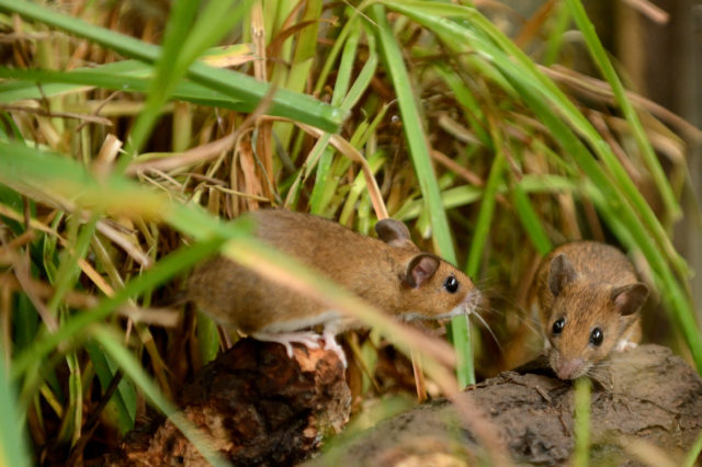 The yellow-necked mouse is also on the list (Anne-Marie Kalus/Woodland Trust/PA)