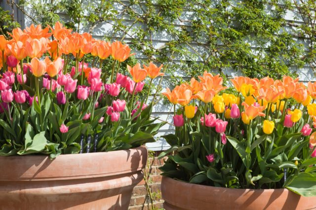 Tulips are at a high risk of being eaten (RHS/Lee Beel/PA)