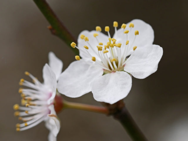 Blackthorn flowers are a key sign of spring (National Trust Images/PA)