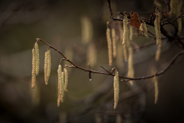 Hazel catkins appear as spring begins (John Malley/National Trust Images/PA)