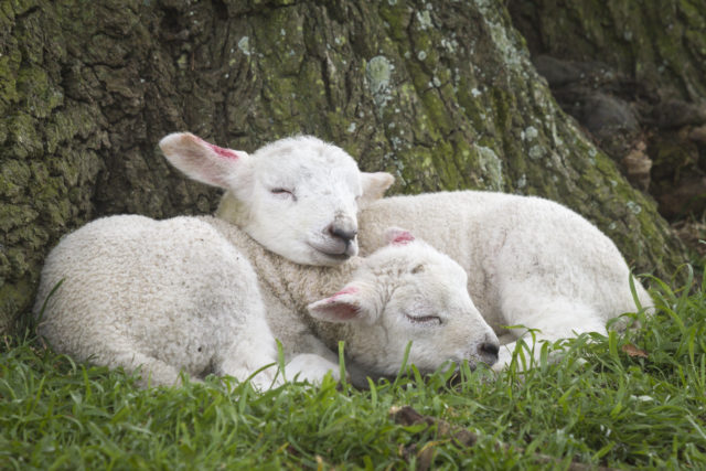 Spring lambs asleep by a tree at Ickworth, Suffolk, (Justin Minns/National Trust Images/PA)