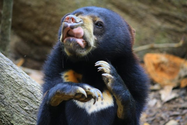 Sun bears are the smallest species in the bear family (Daniela Hartmann/ PA)