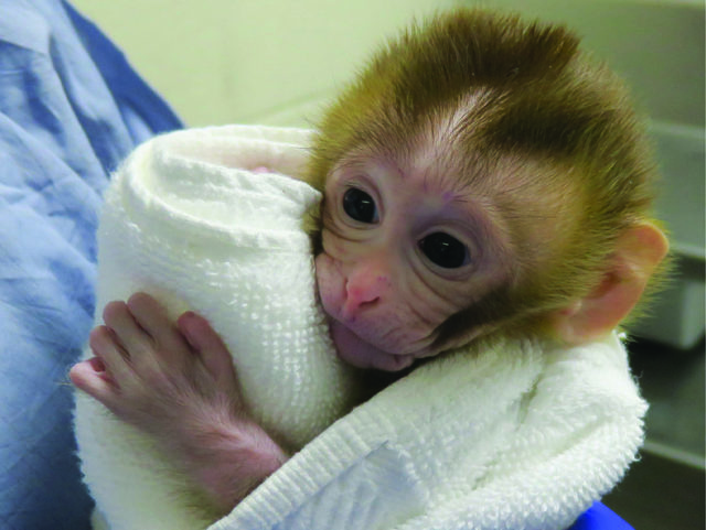 Baby monkey Grady is pictured at two weeks old (OHSU/ PA)