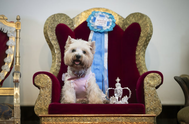 Tottie the Westie sits on a chair at the pageant