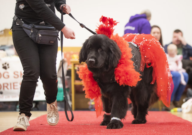 A dog wearing an orange outfit at the pageant