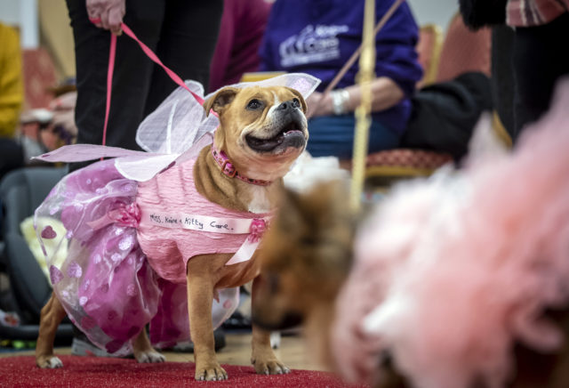 A dog in a pink outfit at the pageant