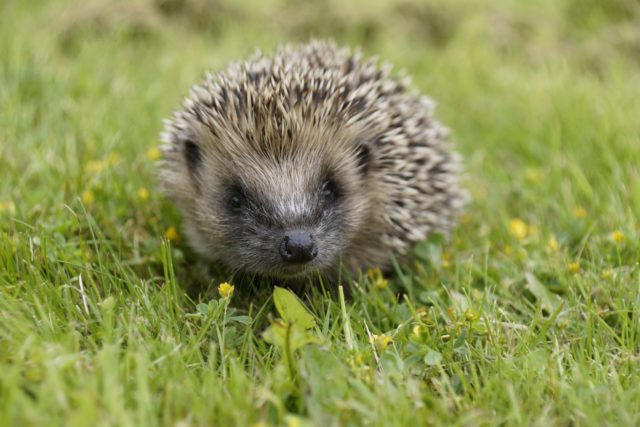 Reports of species such as hedgehogs can aid conservation work (Dave Cooper/Hedgehog Street/PA)