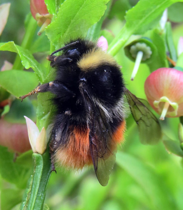 The bilberry bumblebee relies on mature bilberry bushes (Steven Falk/PA)