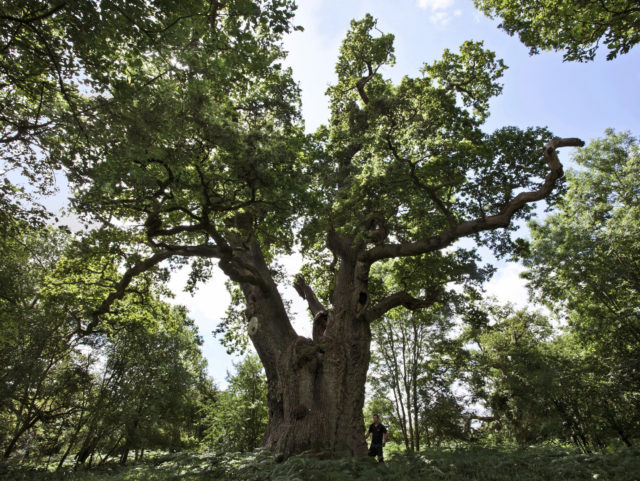 Blenheim's 'king oak' is one of the ancient trees recorded (Blenheim Palace 2019/PA)