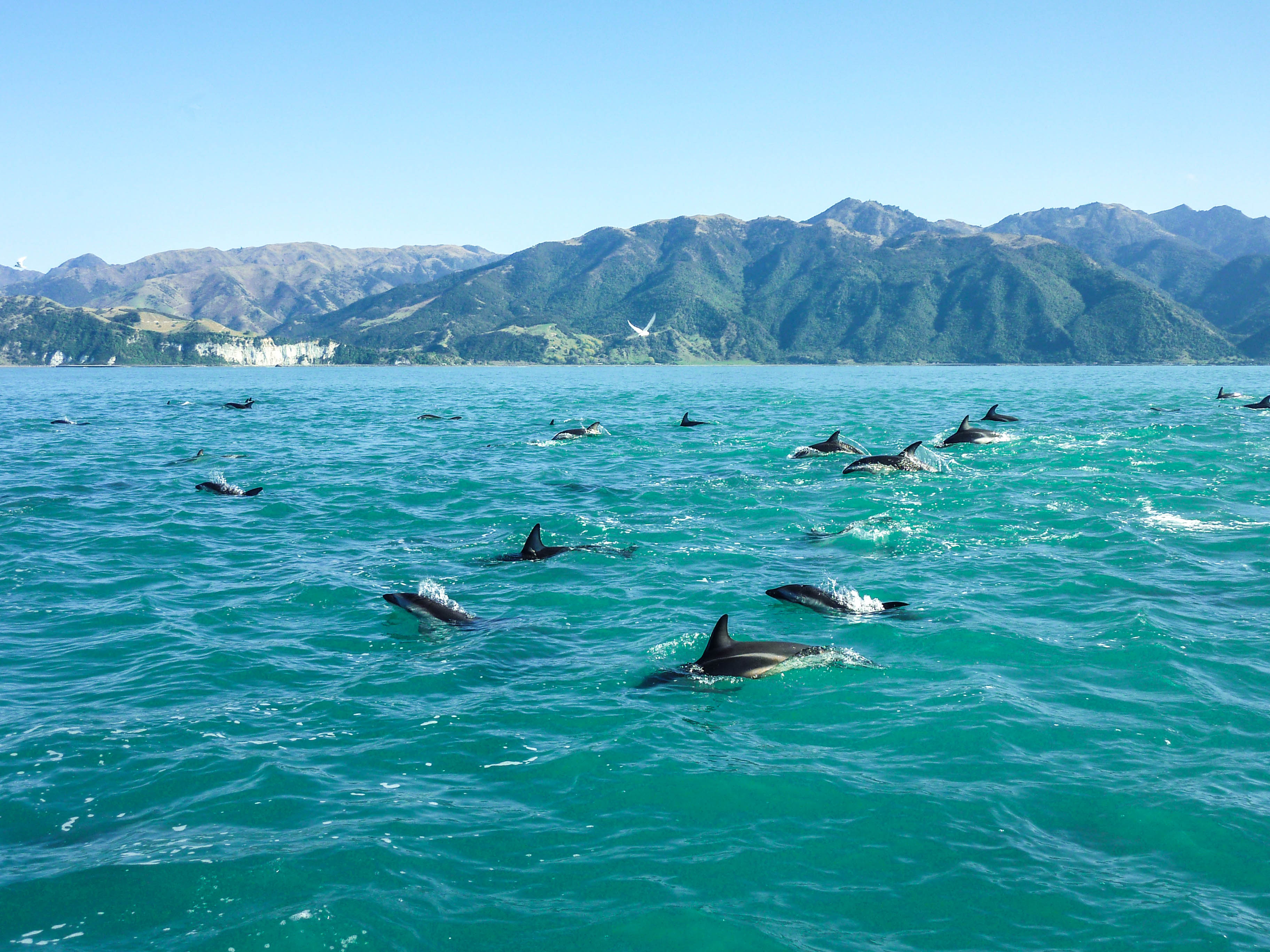 Dolphins jumping outside Kaikoura