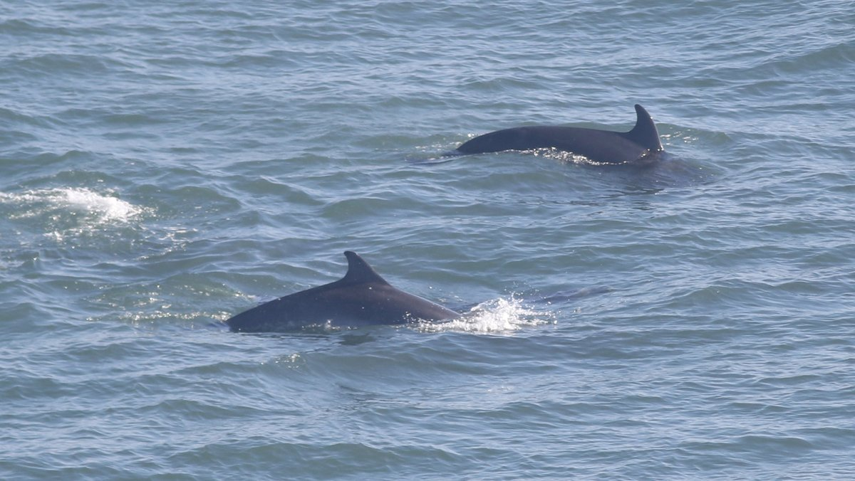 Dolphins swimming off the coast of East Yorkshire