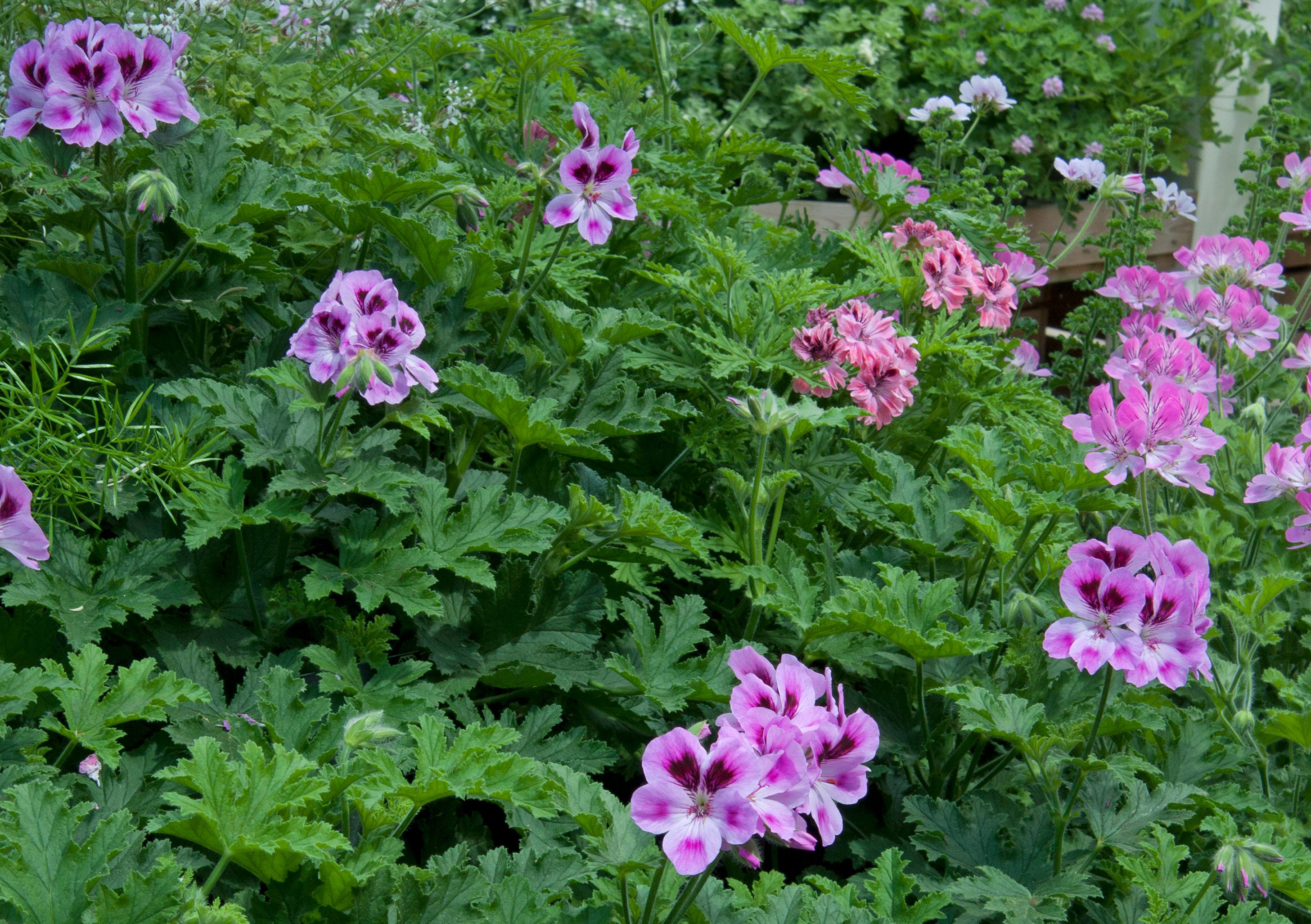 Scented leaf pelargoniums (Tim Sandall/RHS/PA)