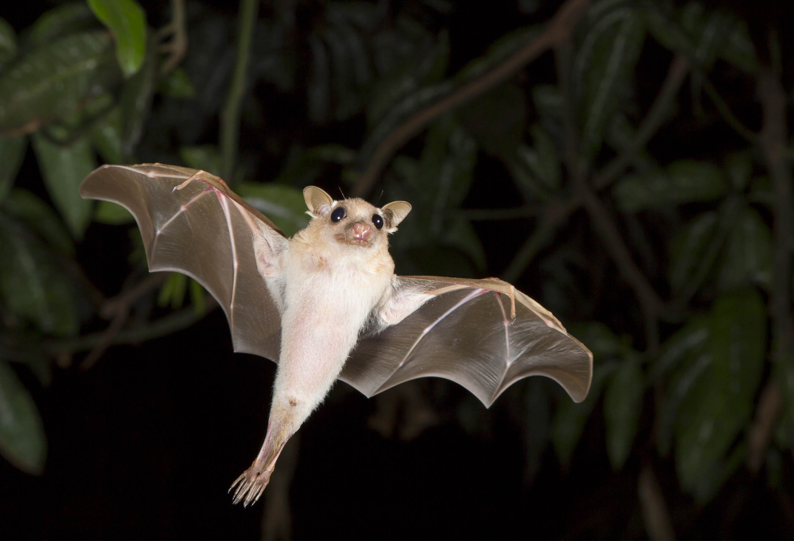 A dwarf epauletted fruit bat