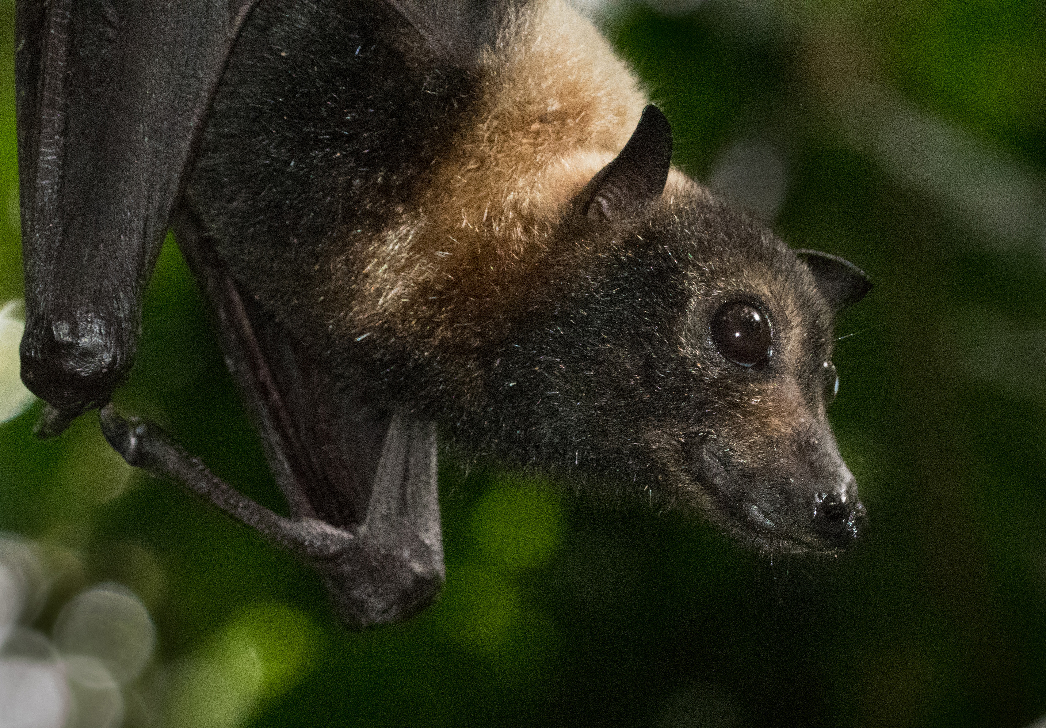 A spectacled flying fox
