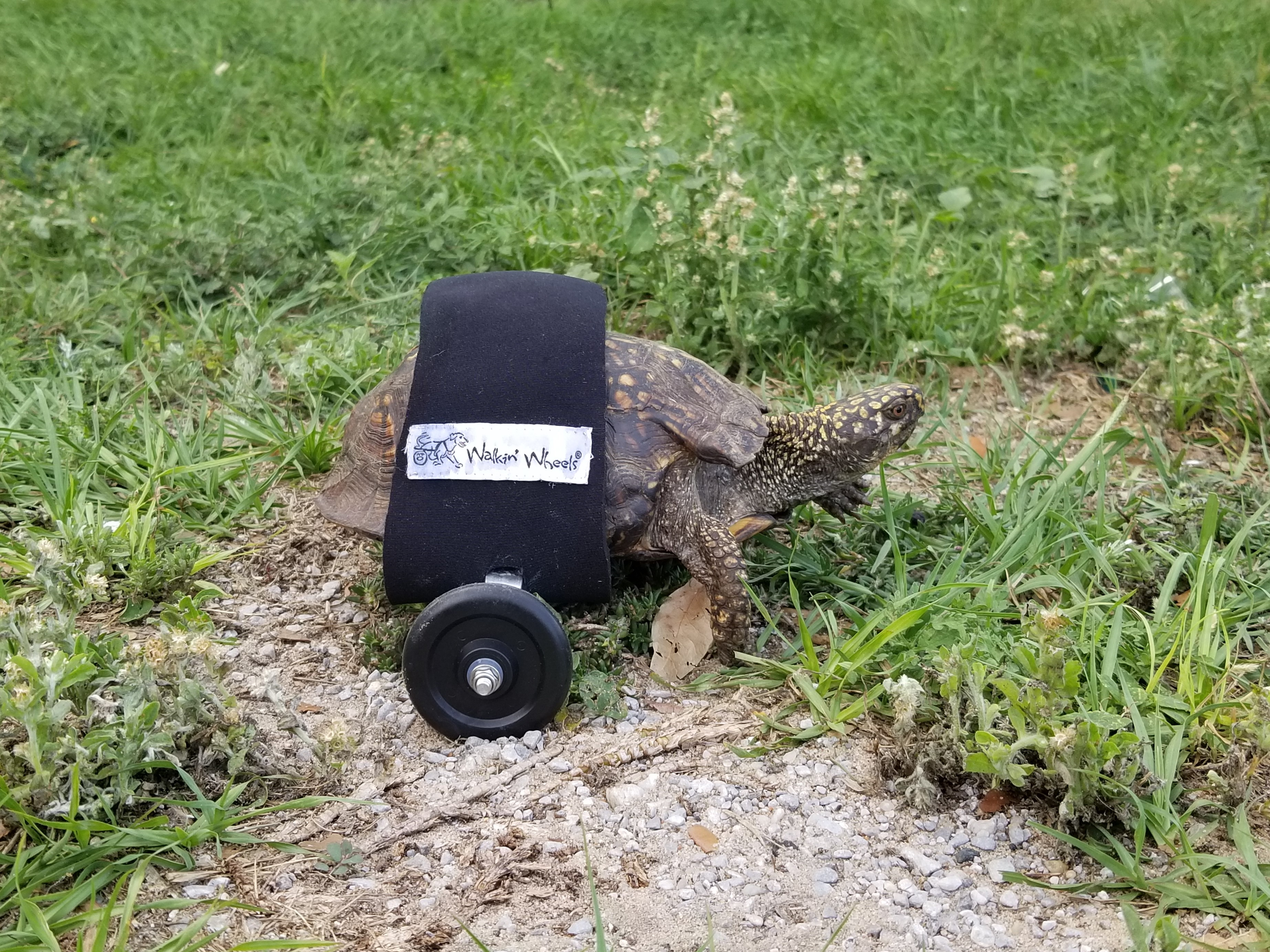 Scoot Reeves, a tortoise with a custom wheelchair