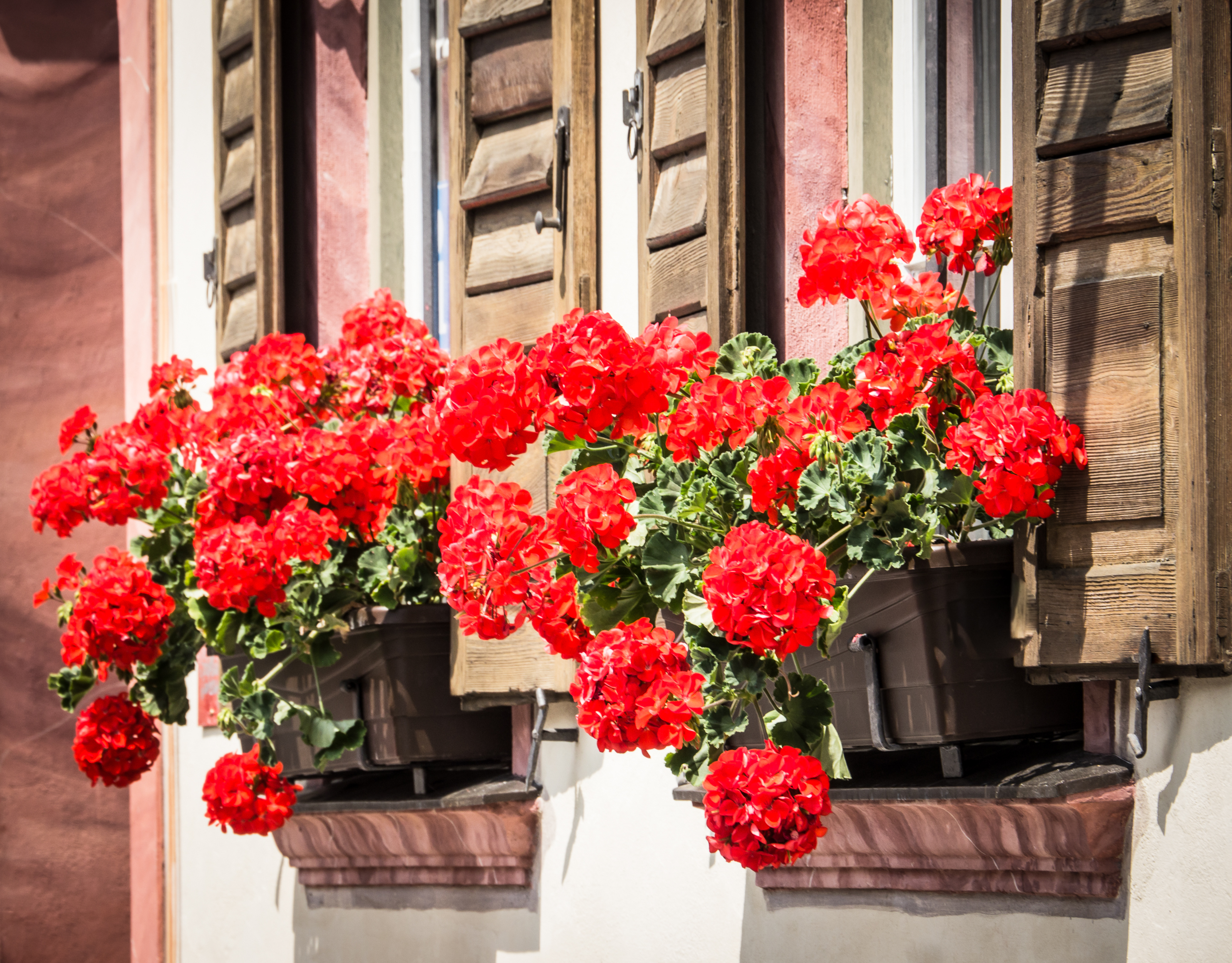A line of red pelargoniums makes an eye-catching feature (iStock/PA)