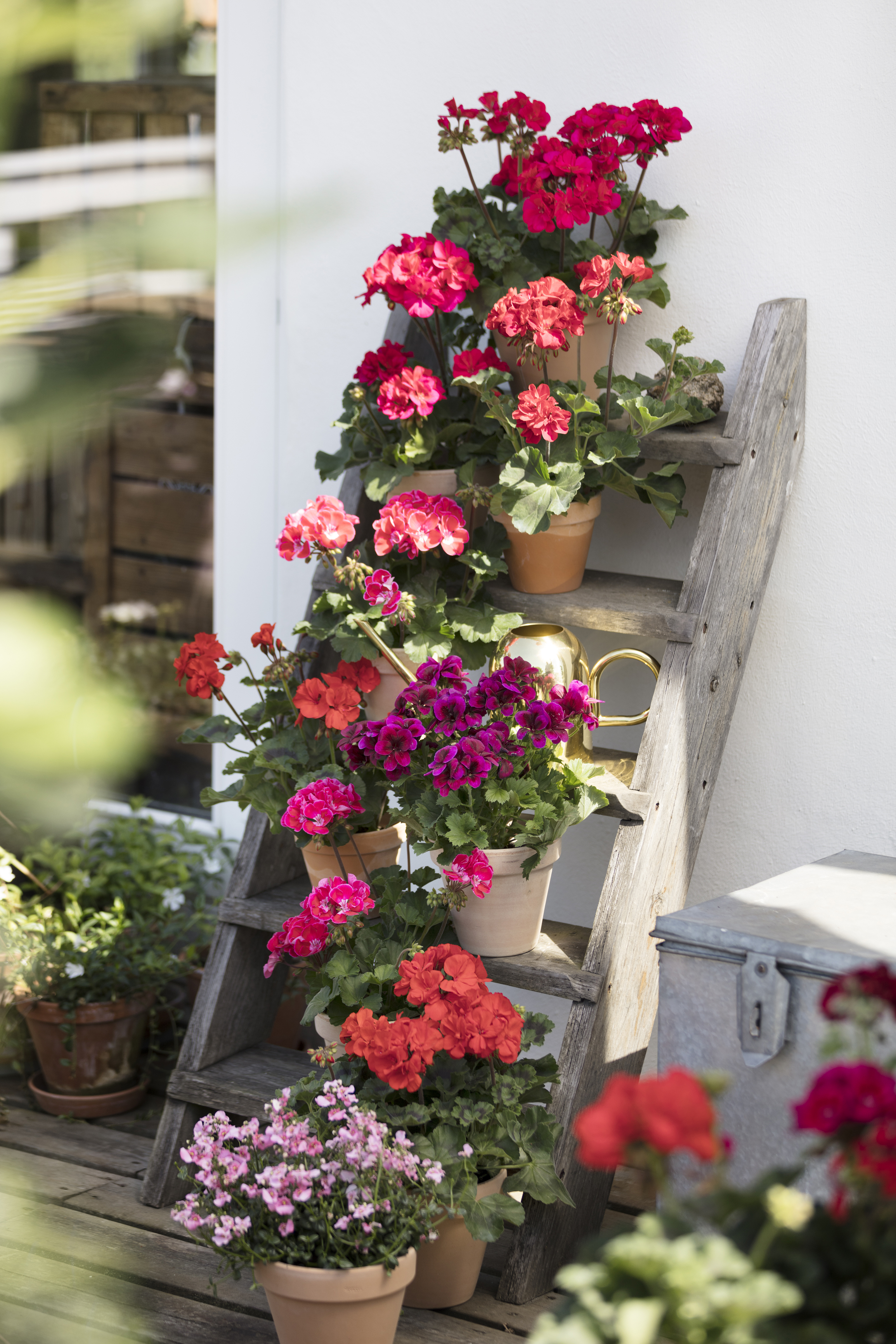 pelargoniums on the rungs of a ladder (Pelargonium for Europe/PA)