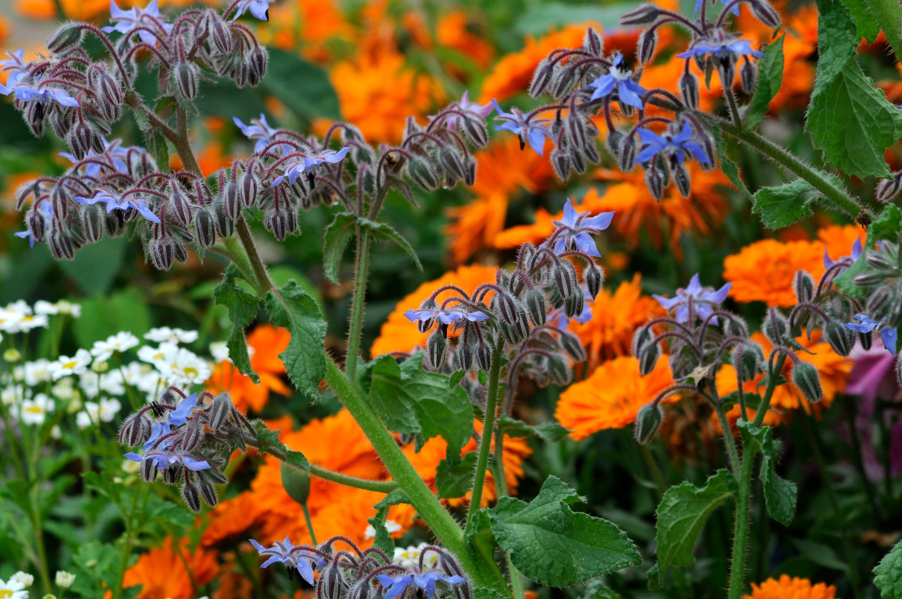 Combine borage and pot marigolds in a herb garden (Tim Sandall/RHS/PA)