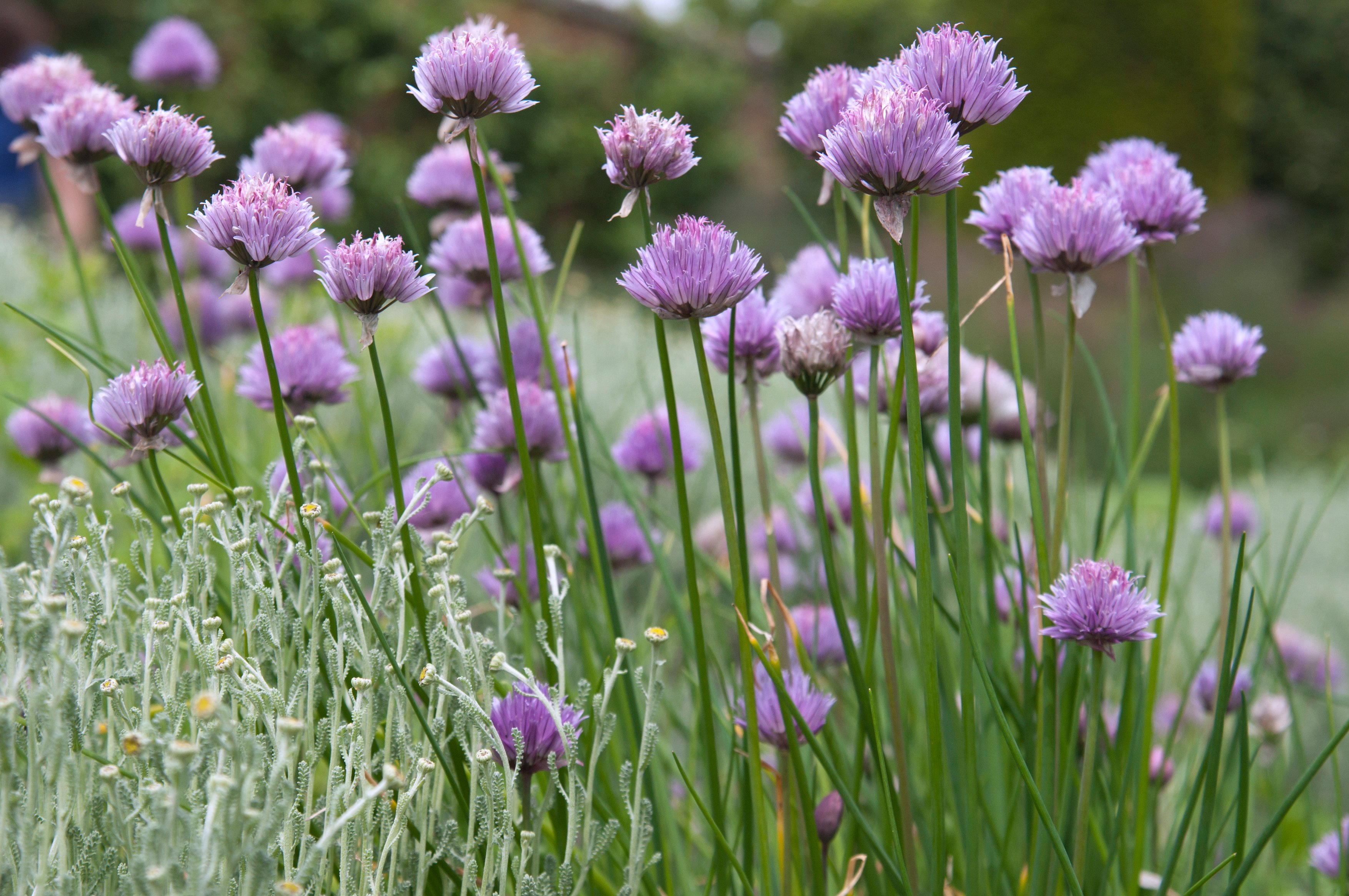 Chives have health-boosting properties (Tim Sandall/RHS/PA)