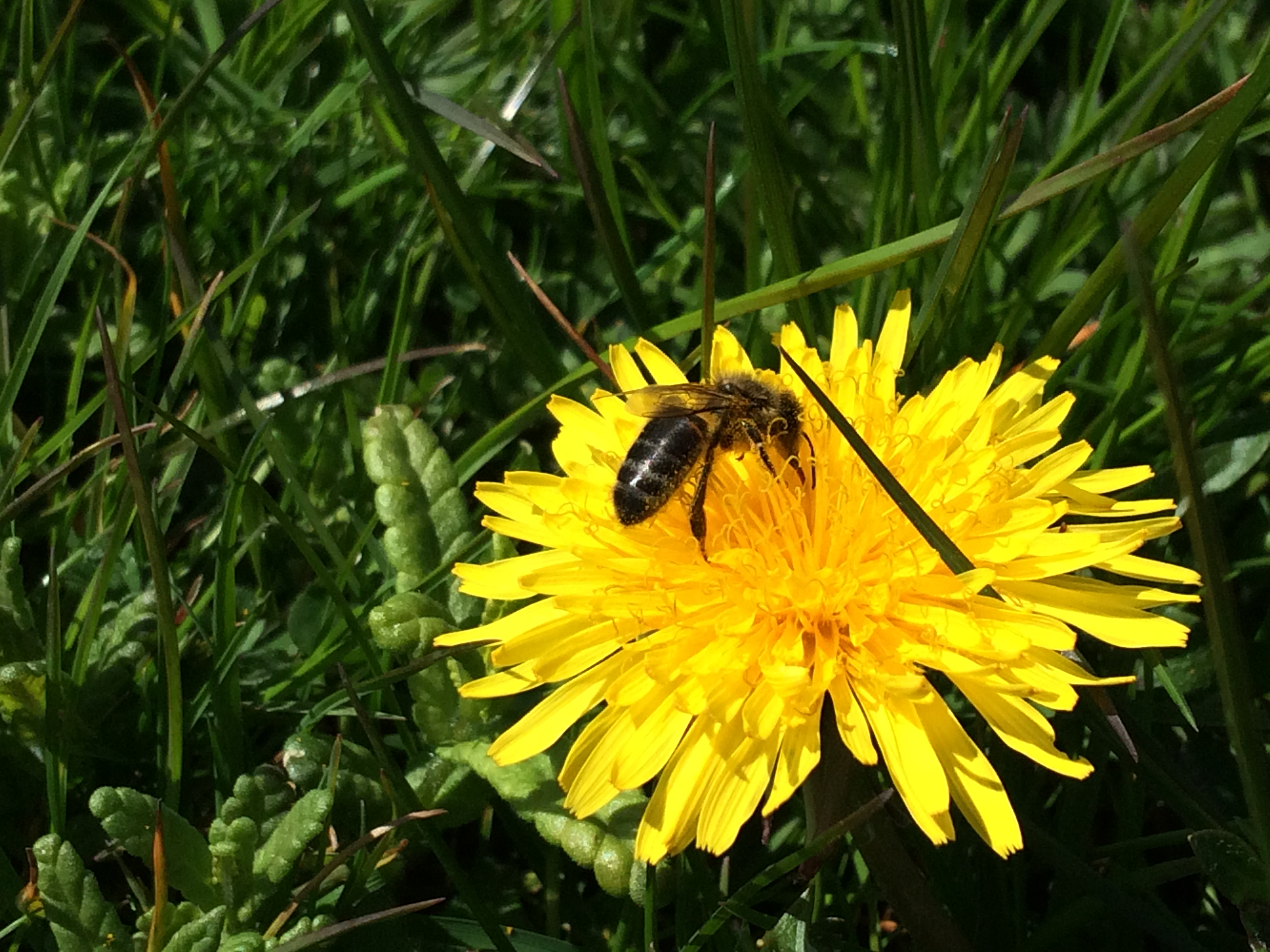 Dandelions may not be popular with gardeners but are food for bees (Trevor Dines/Plantlife/PA)