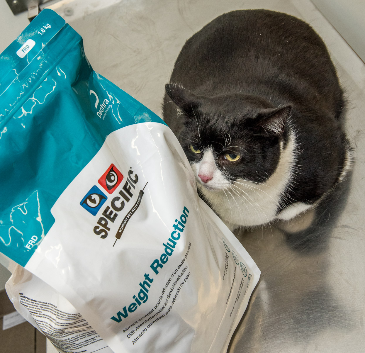 Sox the cat is attempting to lose weight with PDSA