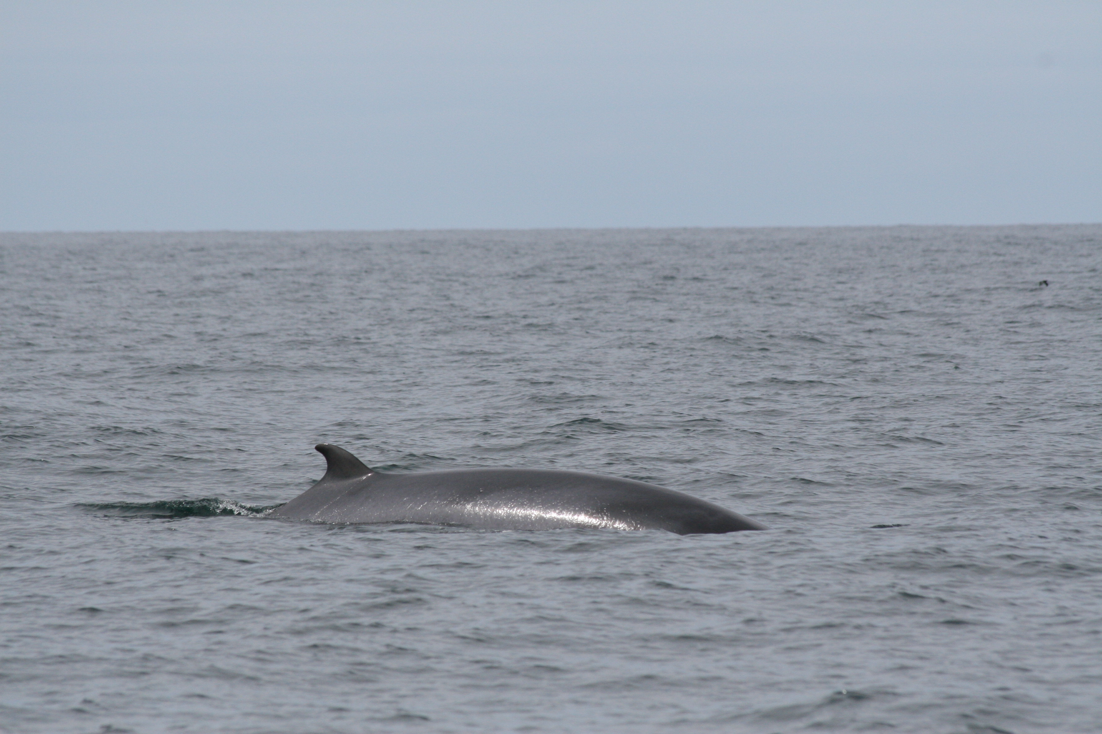 Minke whale off the coast of Holderness, an area which has been protected (Eleanor Stone/PA)