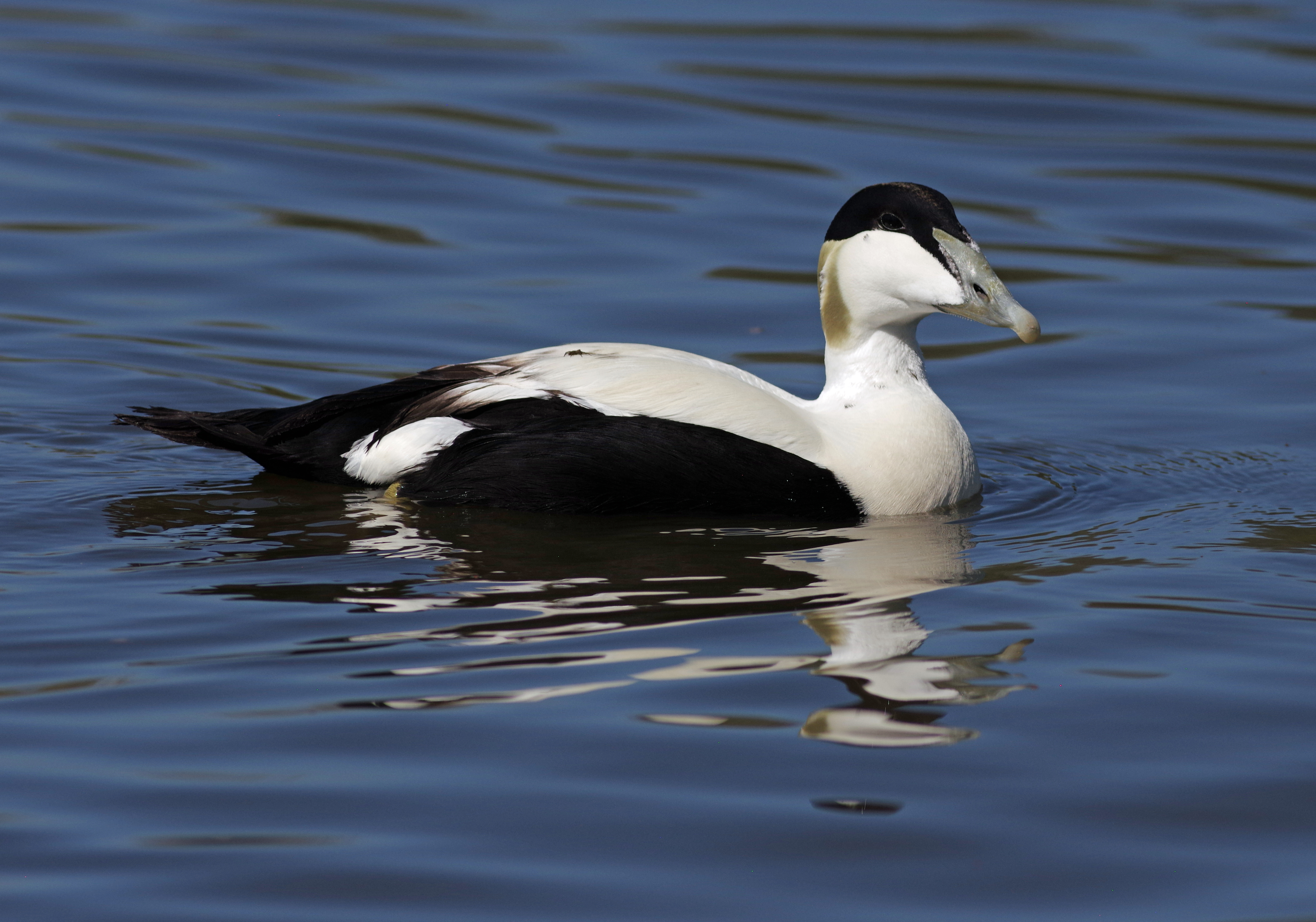An area on the coast of Northumberland has been designated to protect eider ducks (Gillian Day/PA)