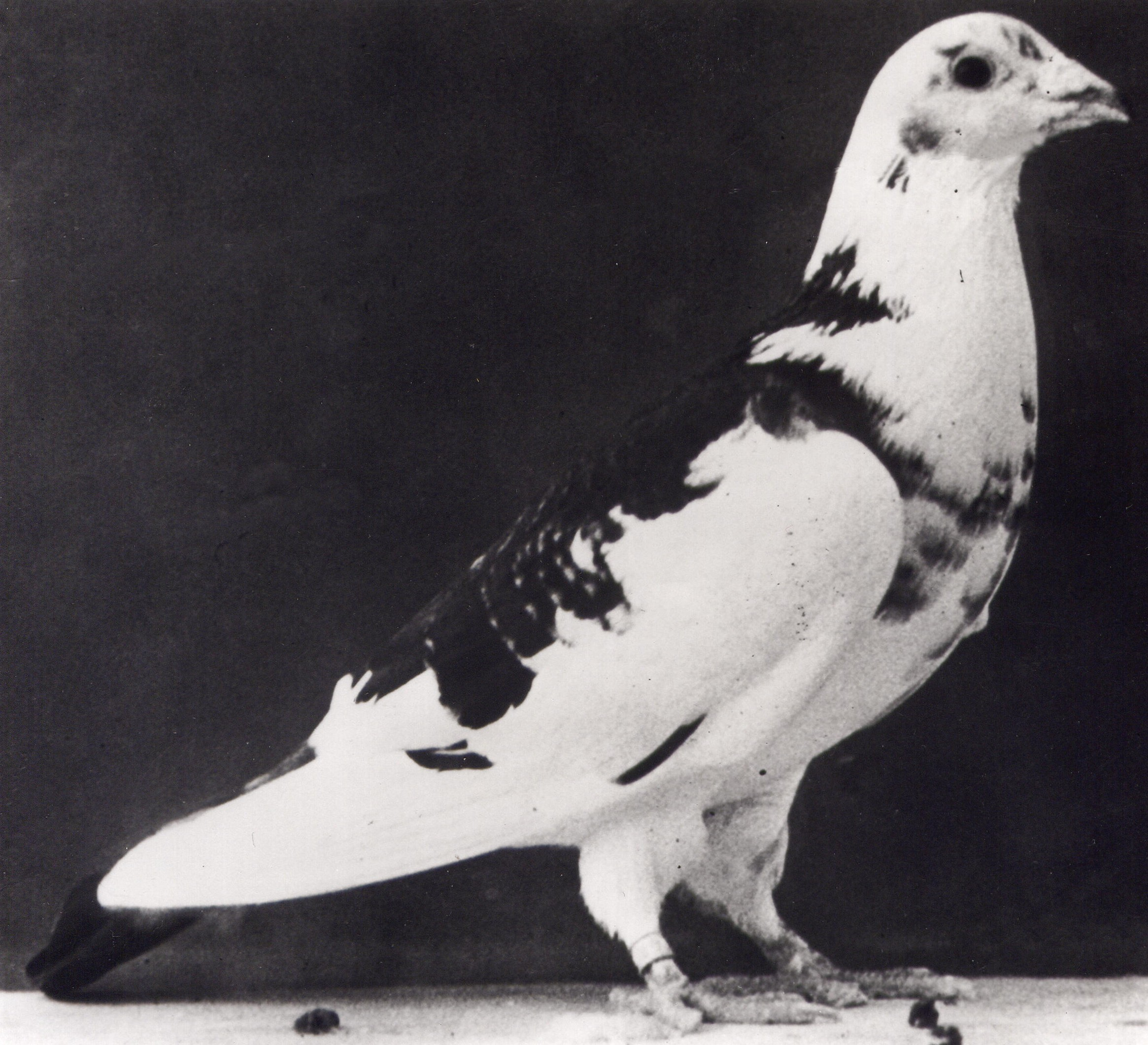 Paddy the pigeon also received the Dickin Medal (PDSA/PA)